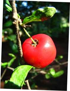 Trendfrucht Acerolakirsche